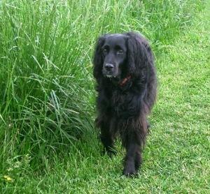 a good black dog